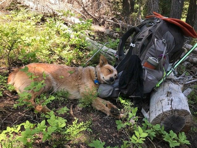 dog resting on Gregory Maven
