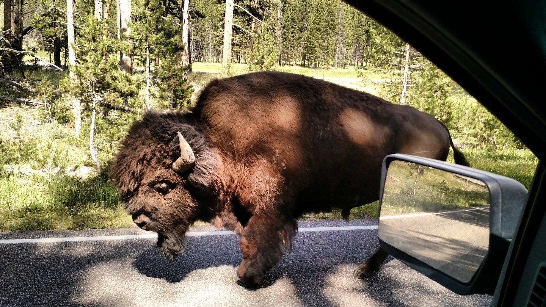 buffalo wildlife viewing