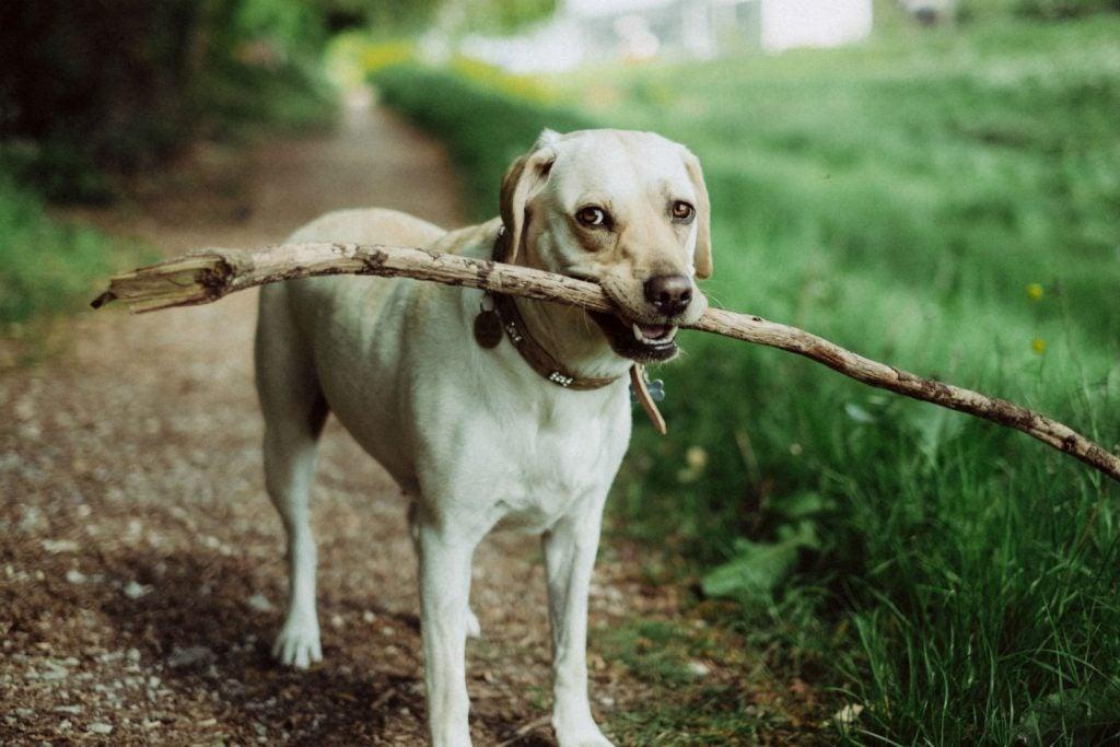 popular active dog breeds, yellow lab