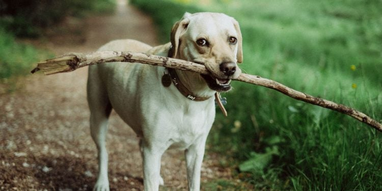 popular active dog breeds, yellow lab