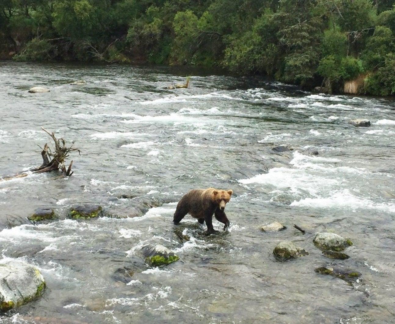 brown bear wildlife viewing