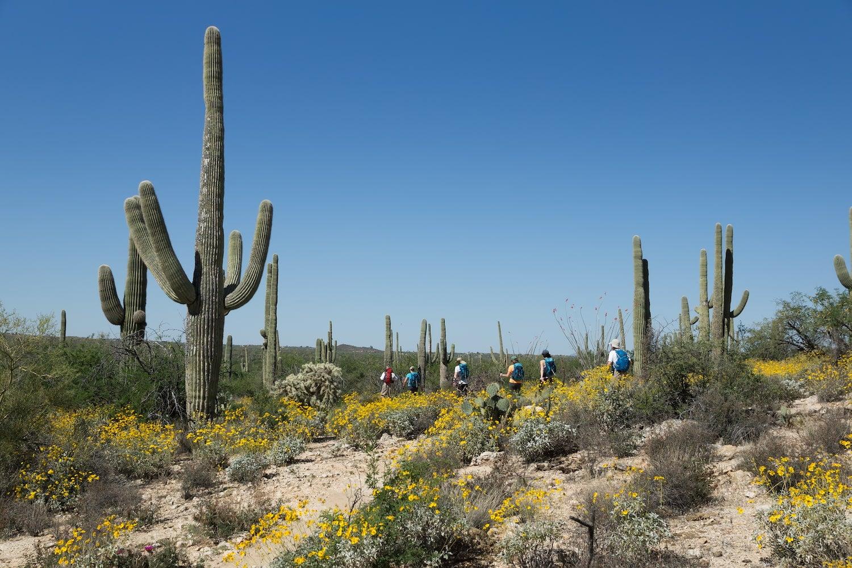 saguaro cactus and flowers in bloom