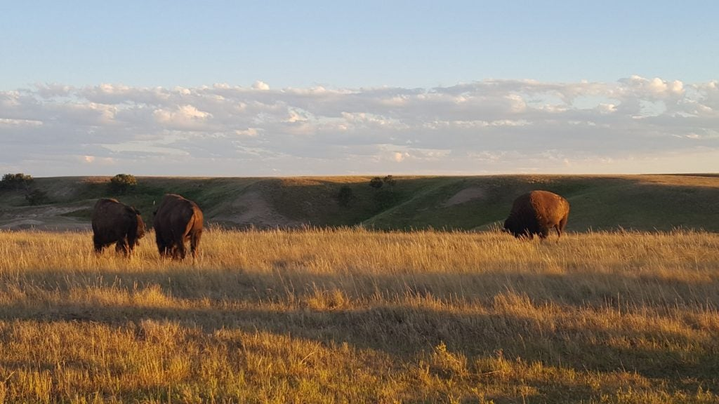 bison grazing at sunset