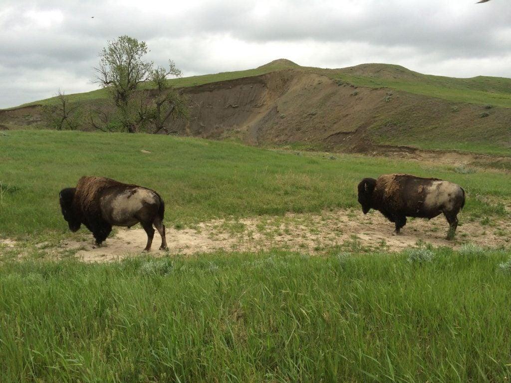 bison grazing on the hillside