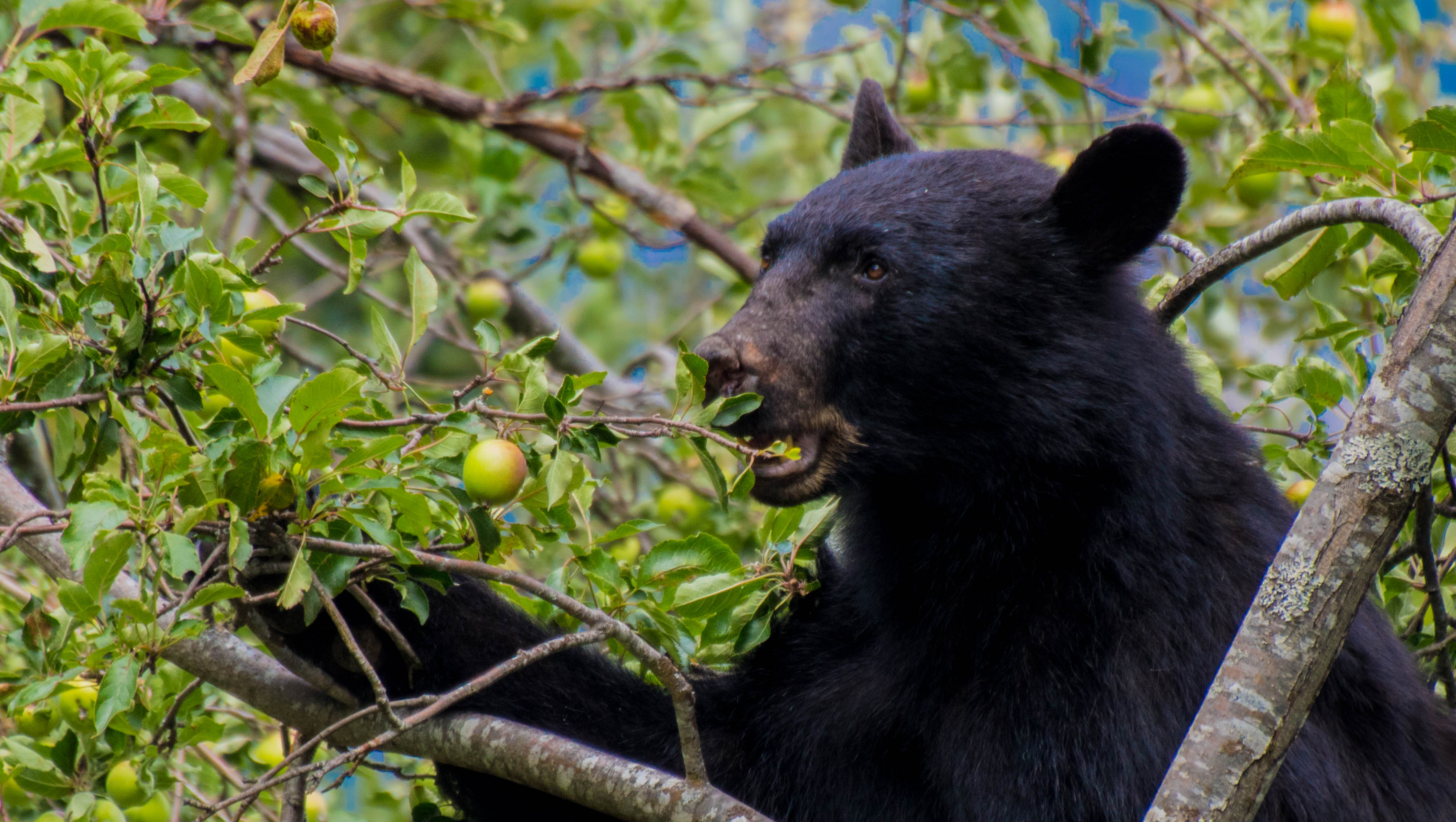 safety tips for bear encounters, bear eating fruit