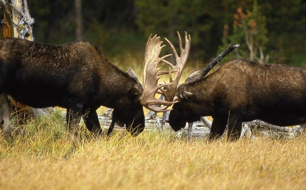 bull moose sparing