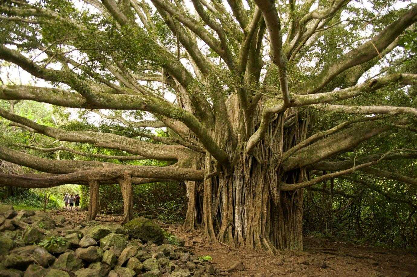 camping in maui kipahulu tree