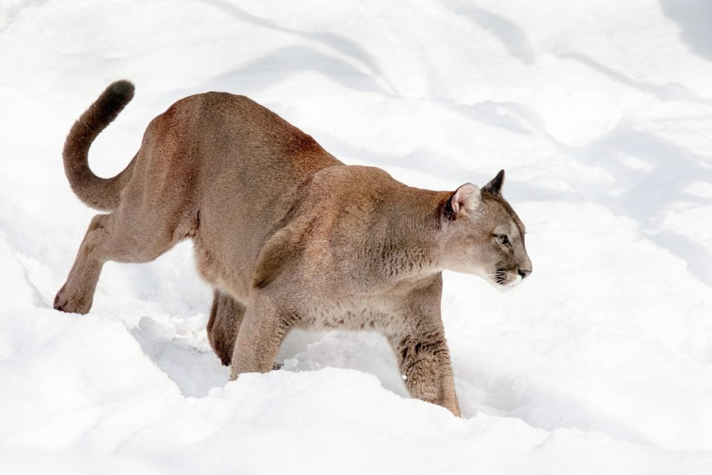 Cougar in snow - Fatal cougar attack in Oregon Mount Hood National Forest