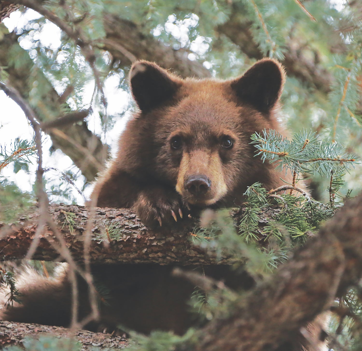 baby bear looks down from tree, a new mexico wildlife staple