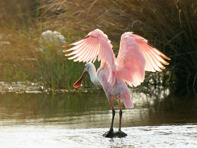 pink roseate spoonbills like this one can be found when birding