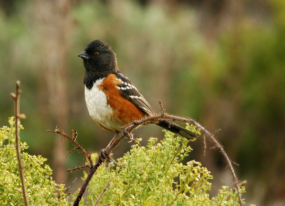 black headed towhees like this can be spotted when birding in california