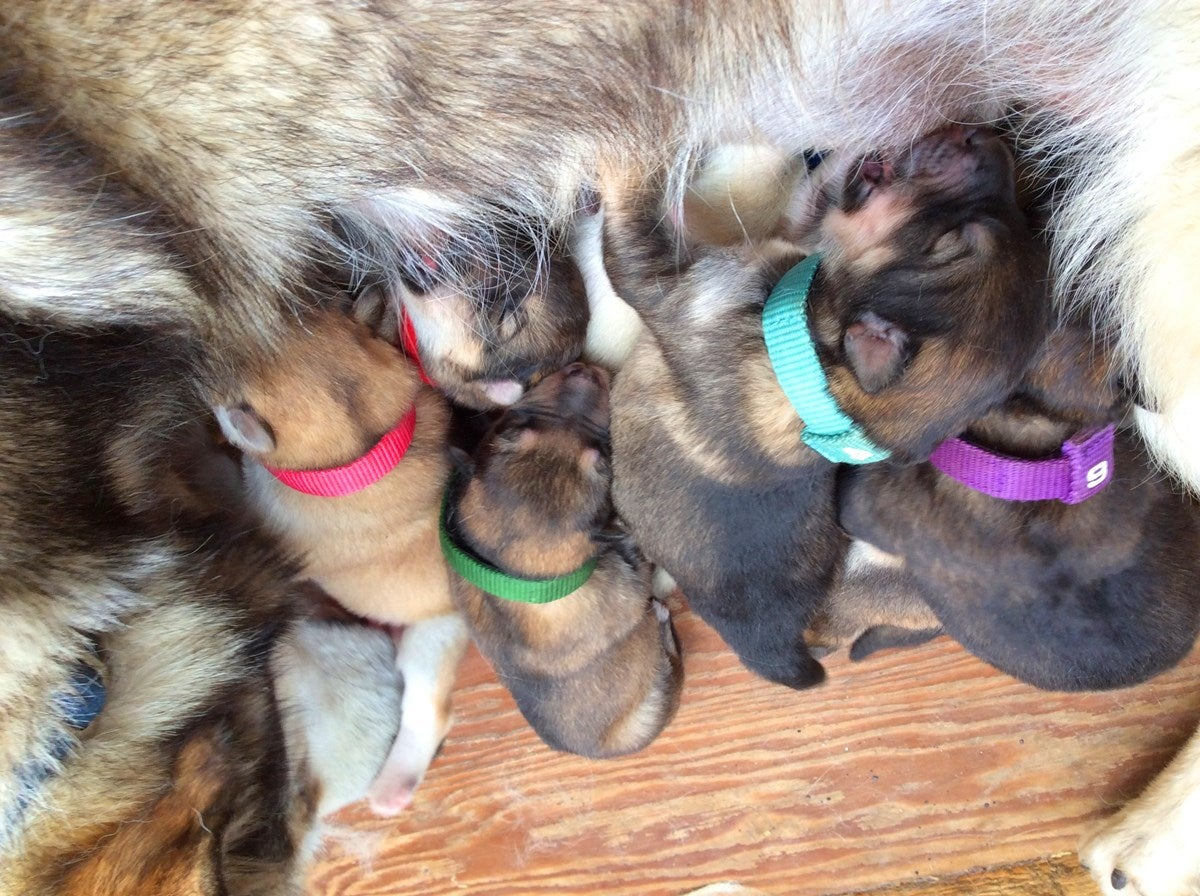 5 sled dog puppies nursing on the denali puppy cam