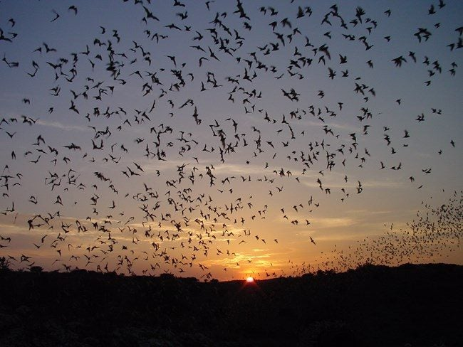 countless bird silhouettes flying at sunset
