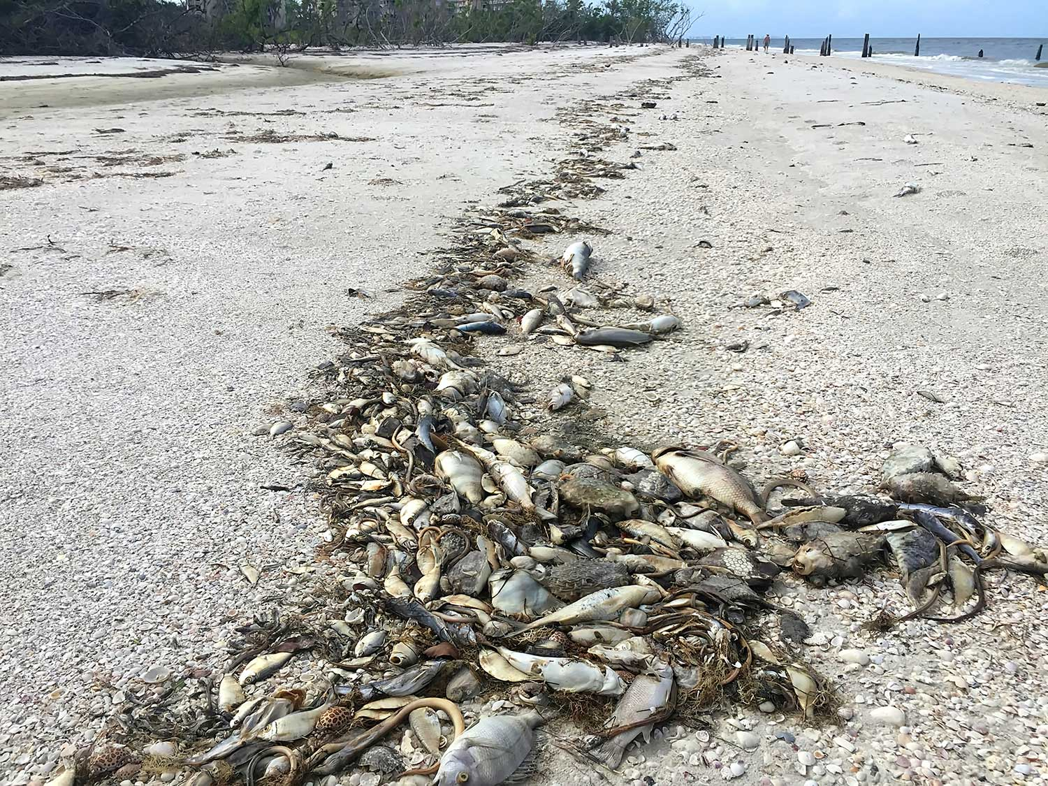 dead fish wash ashore due to red tide