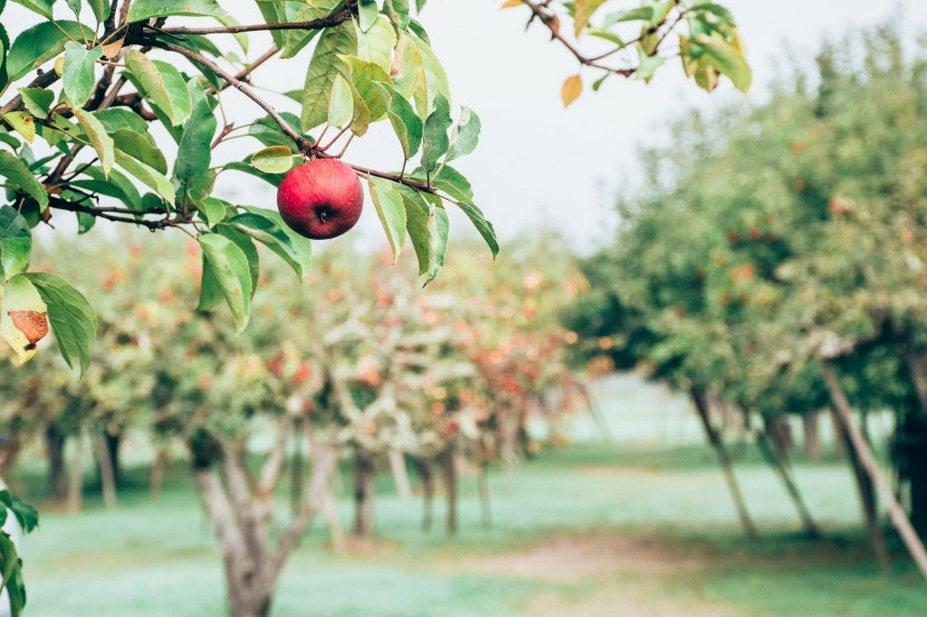 apple hanging from branch at u-pick farm
