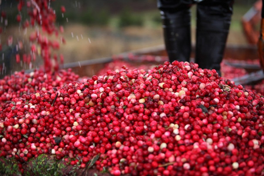 harvested cranberries falling into a pile