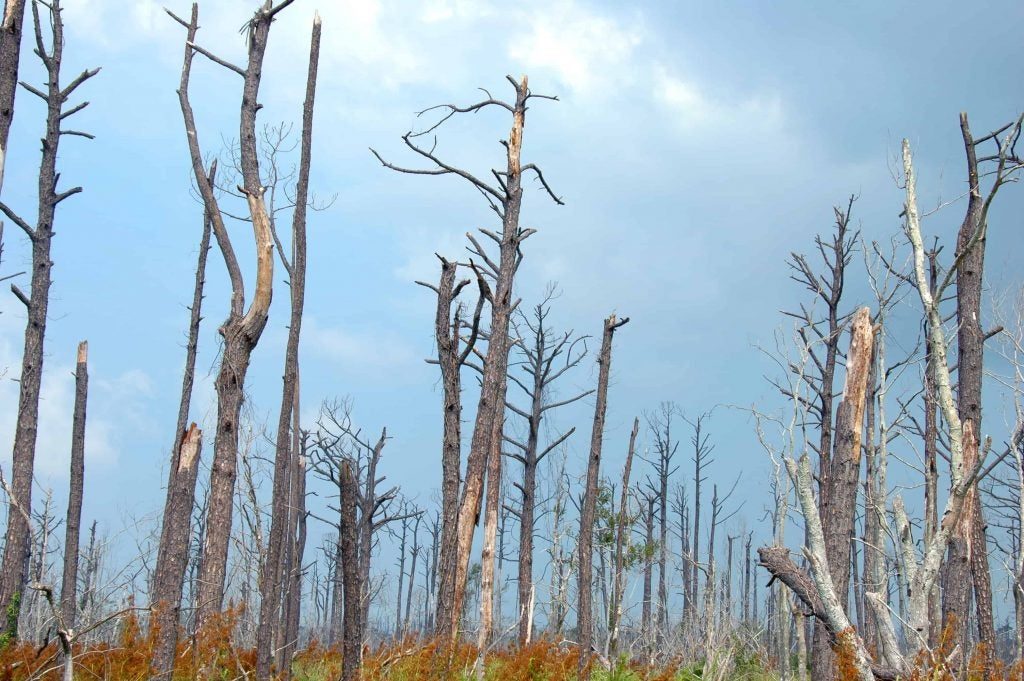 a dead forest remains in hurricane katrina's affected areas