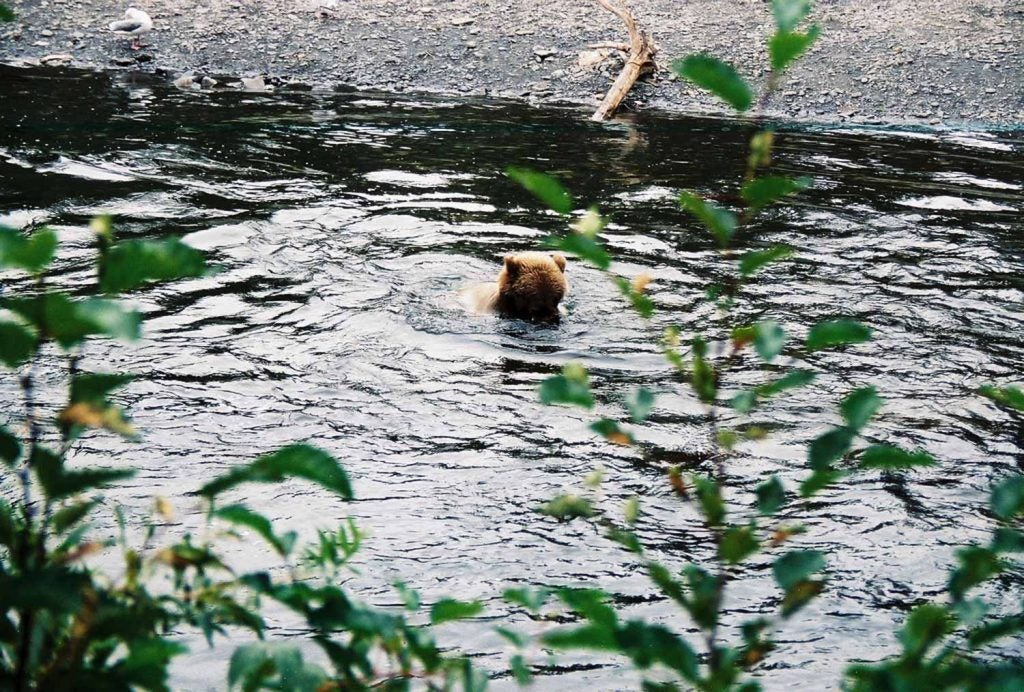 Brown bear fishing in the Russian River, Alaska