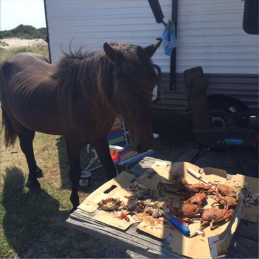 a horse eating food on assateague island