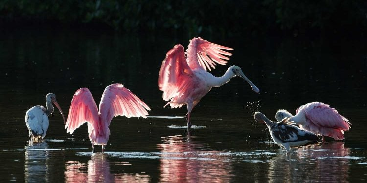 pink winged birds stretch in the water