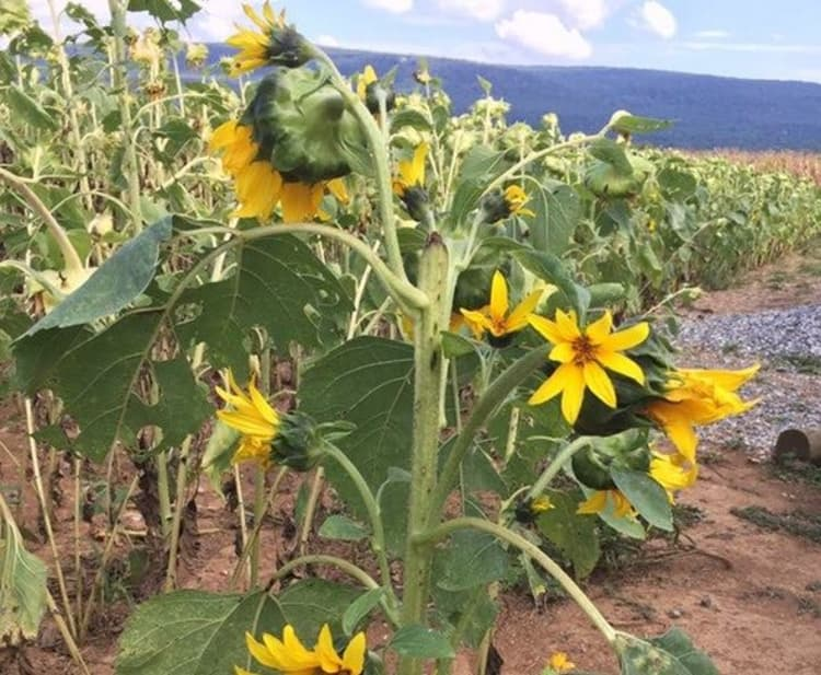 A field of sunflowers in Thurmont, MD