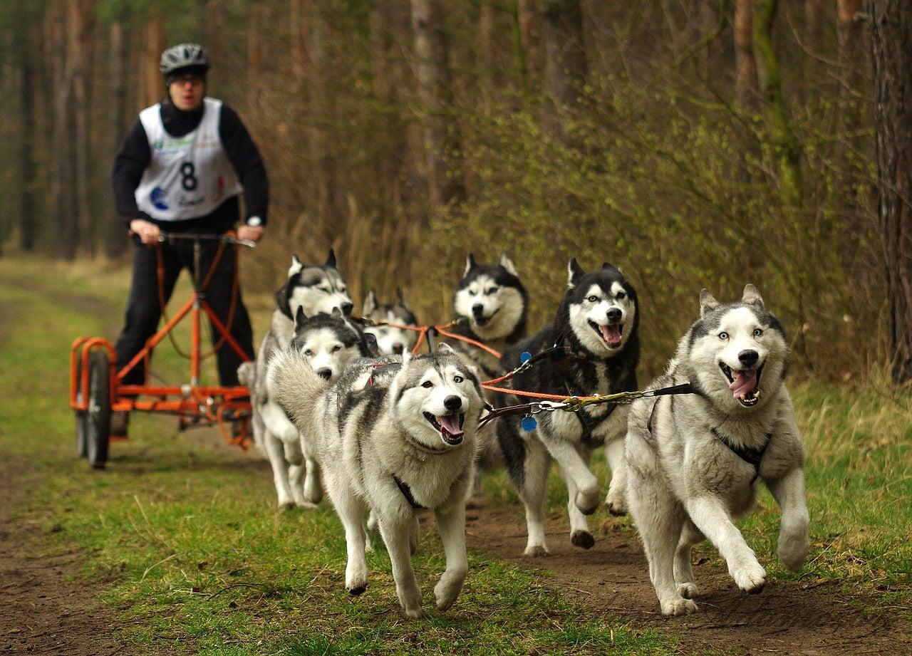 dryland dog sledding