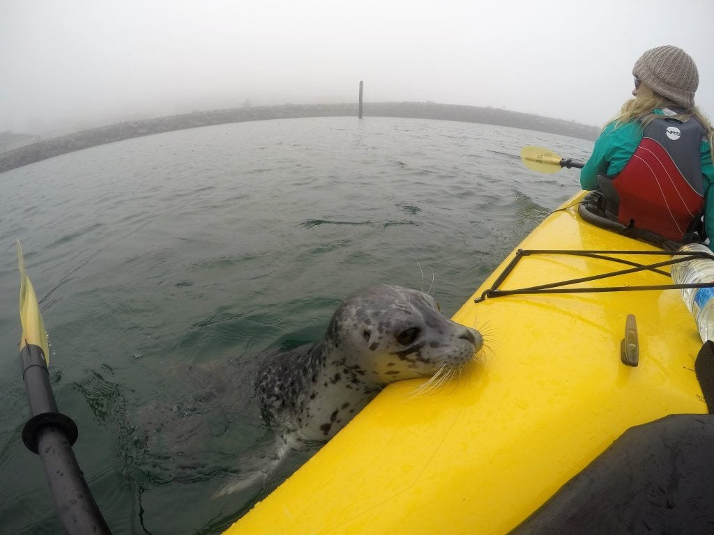 Kayaker paddling the San Juan Islands with seal poking its head on top of the Kayak