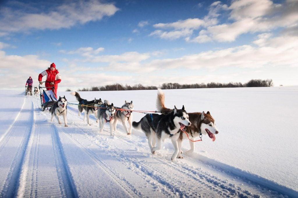 Dog sledding team and musher in winter landscape