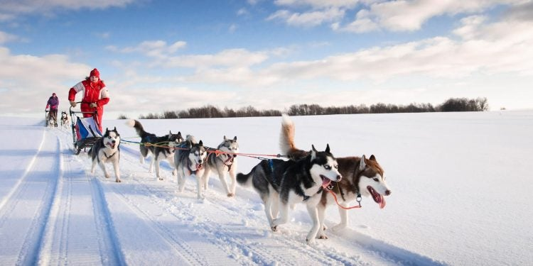 Dog sledding team and musher in winter landscape