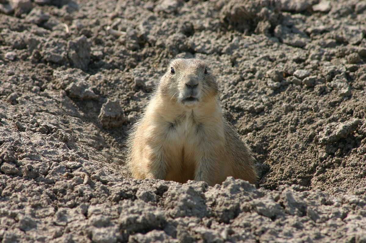 a large prairie dog peering out from a hole in the dirt
