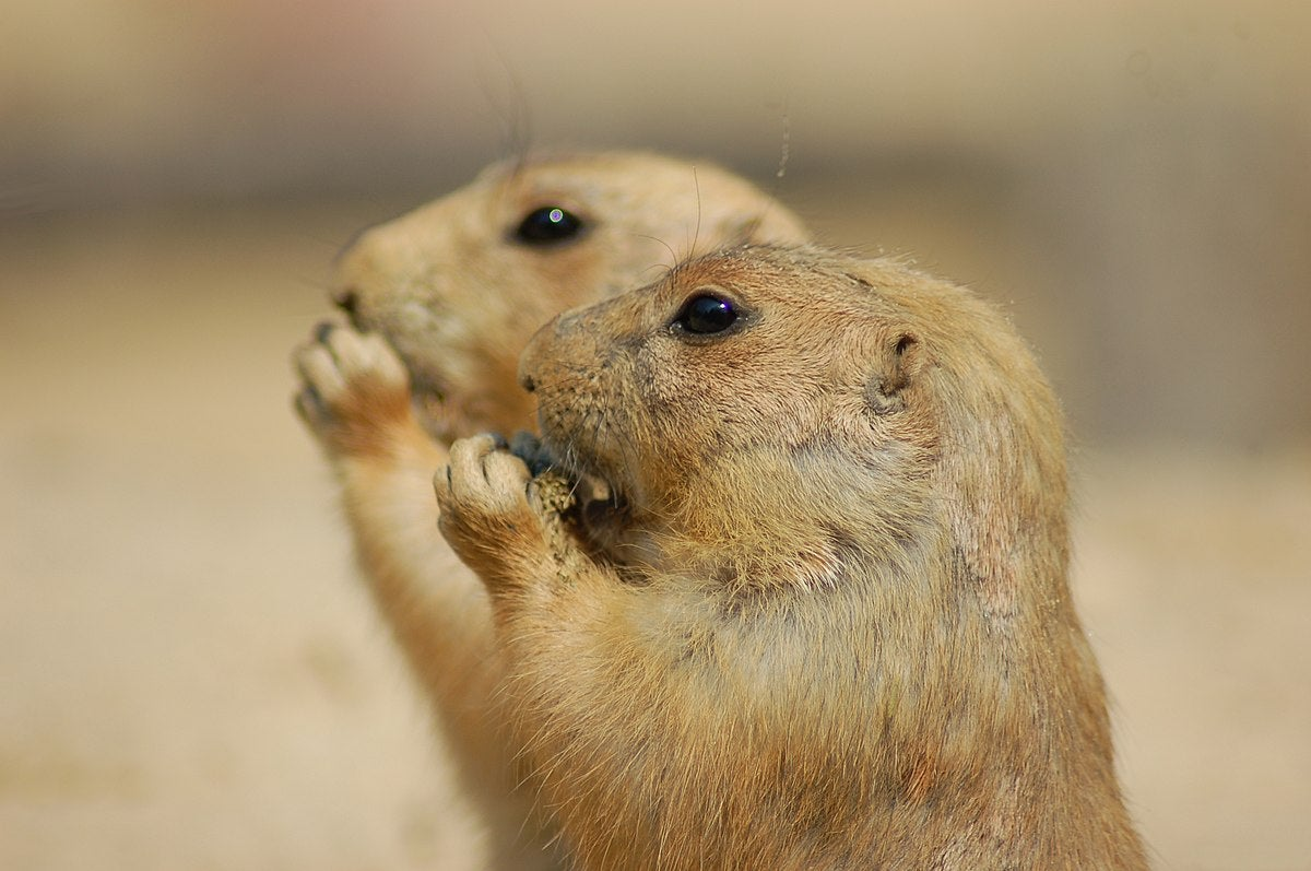 close up of two prairie dogs eating