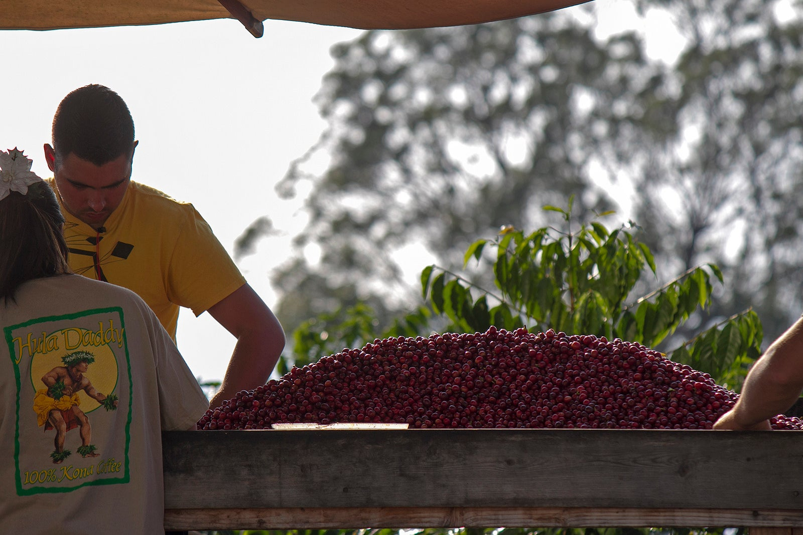 sorting coffee beans at hula daddy coffee farm
