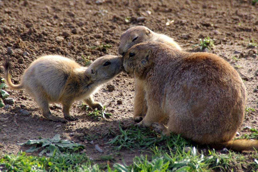 three prairie dogs kissing
