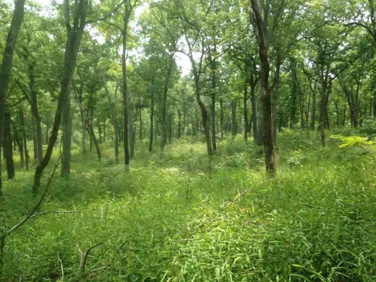 a missouri forest full of skinny trees and thick green brush