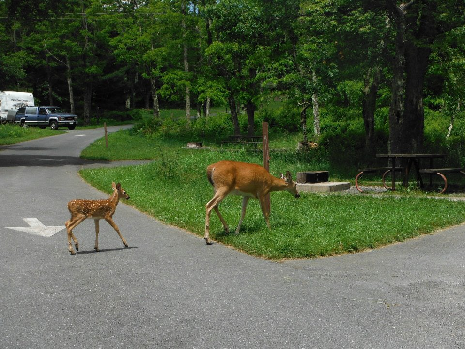 mother deer and spotted baby cross paved campground road
