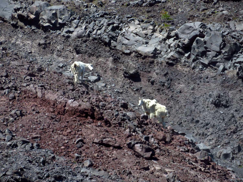 Mountain goats at Mount St. Helens, Washington