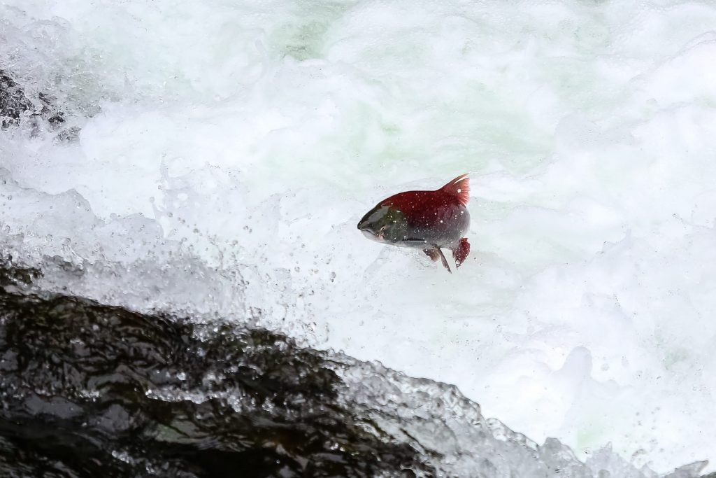 Sockeye salmon migration near the russian river campground