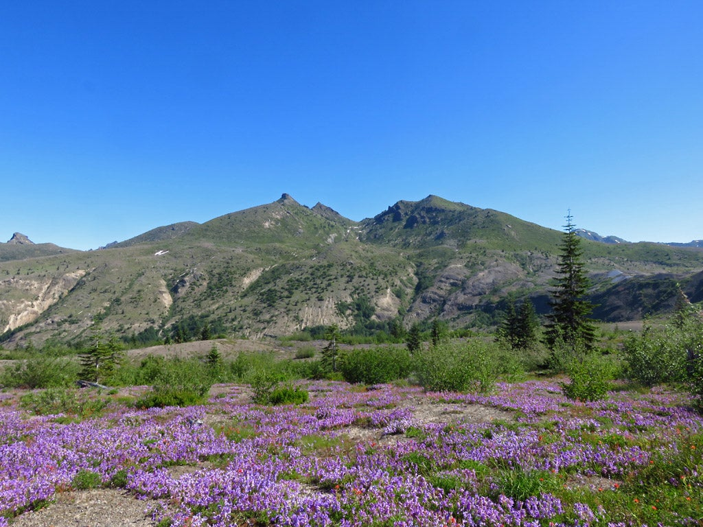 Wildflowers at Mount St. Helens, Washington
