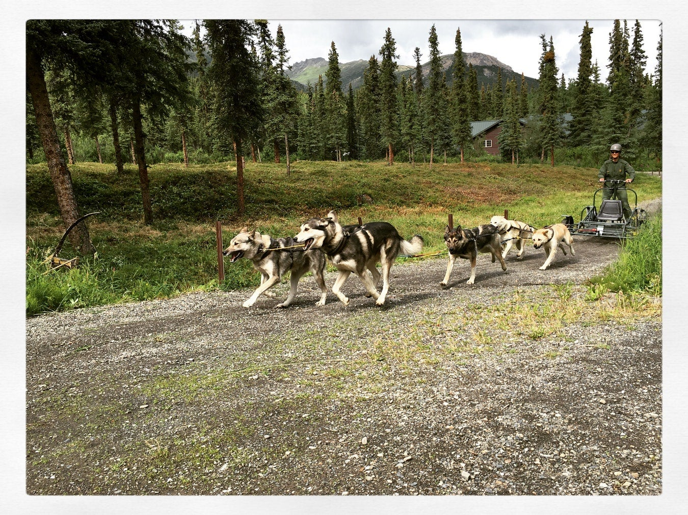 denali sled dog demonstation