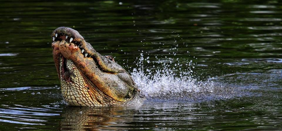 Alligator sticks his head above water in Jackson, Mississippi