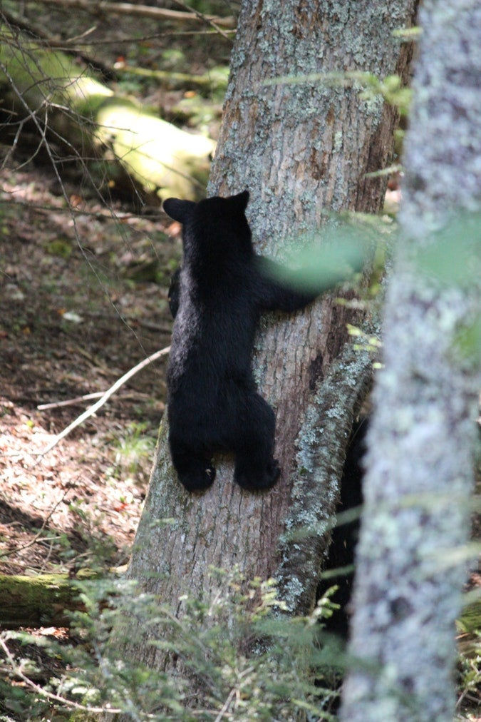 black bear cub climbs tree trunk