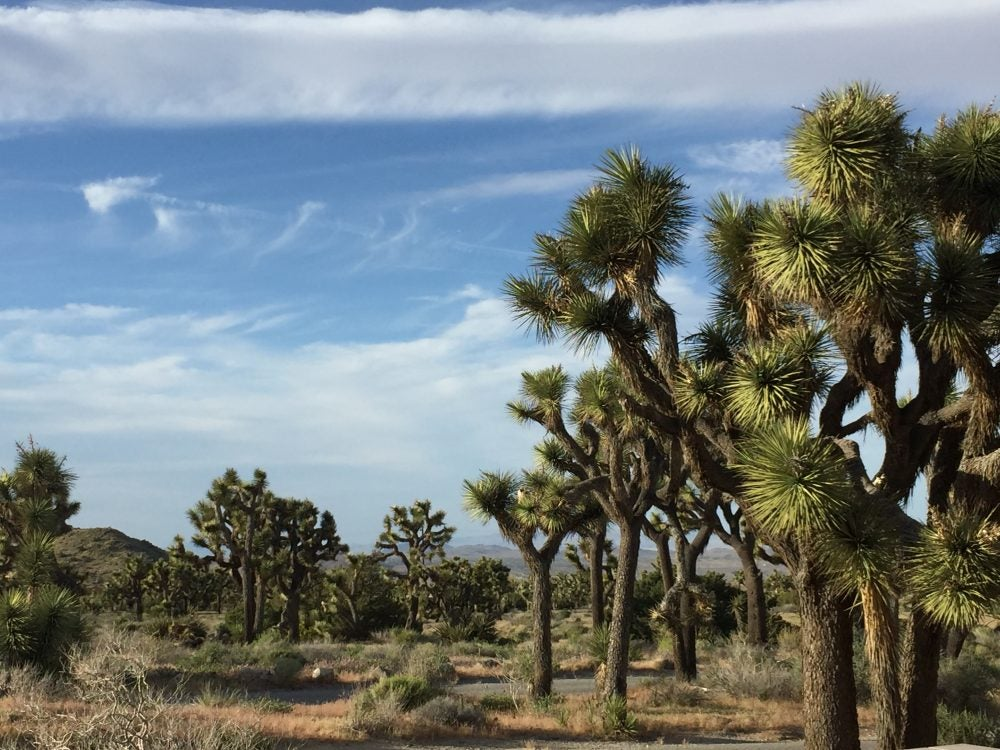 Joshua trees in a field