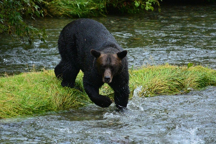 colorado black bear on the hunt for fish in a river