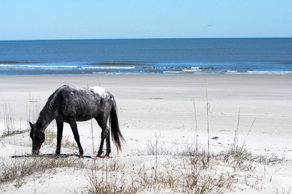 a horse grazes on seagrass in cumberland island