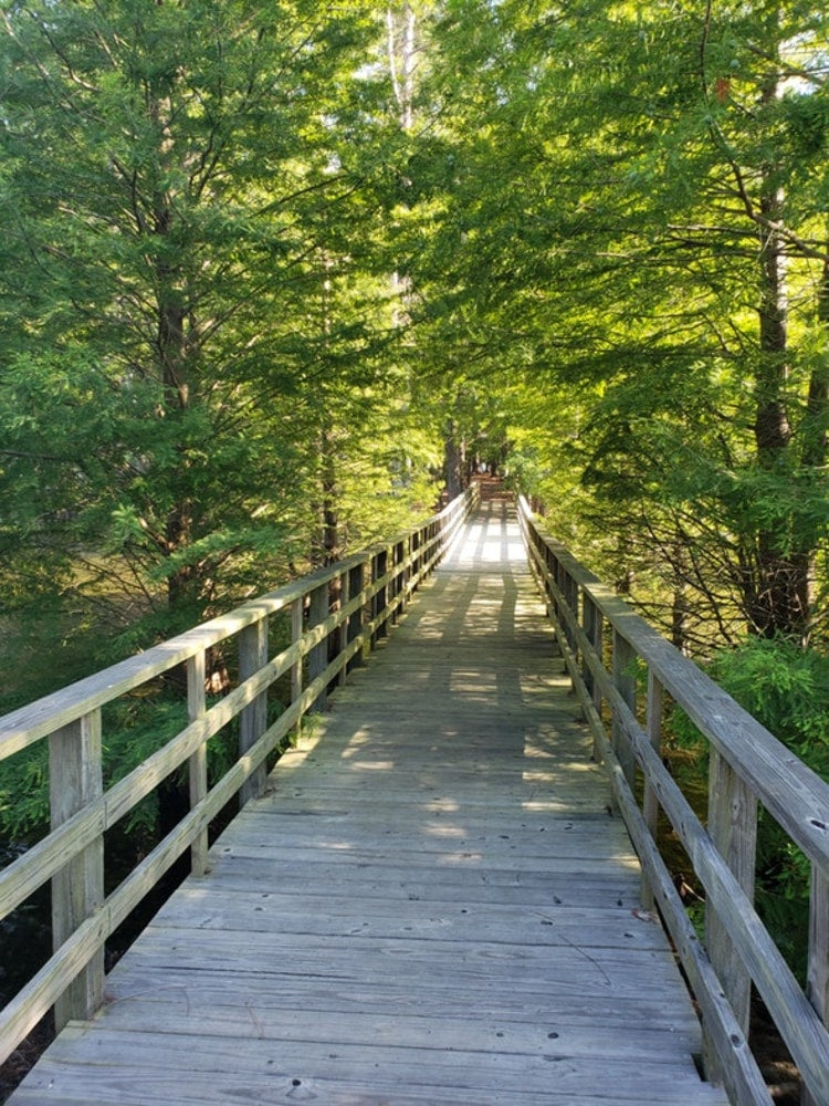 a wooded boardwalk trail in summer at dreher island state park
