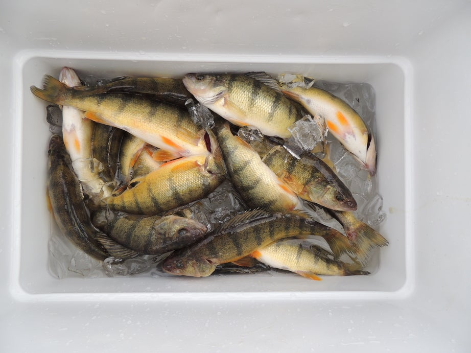 a bucket full of freshly caught fish on ice