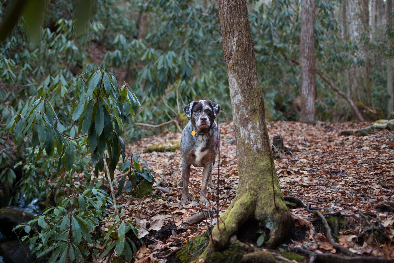 grey spotted dog stands alert in wooded state park