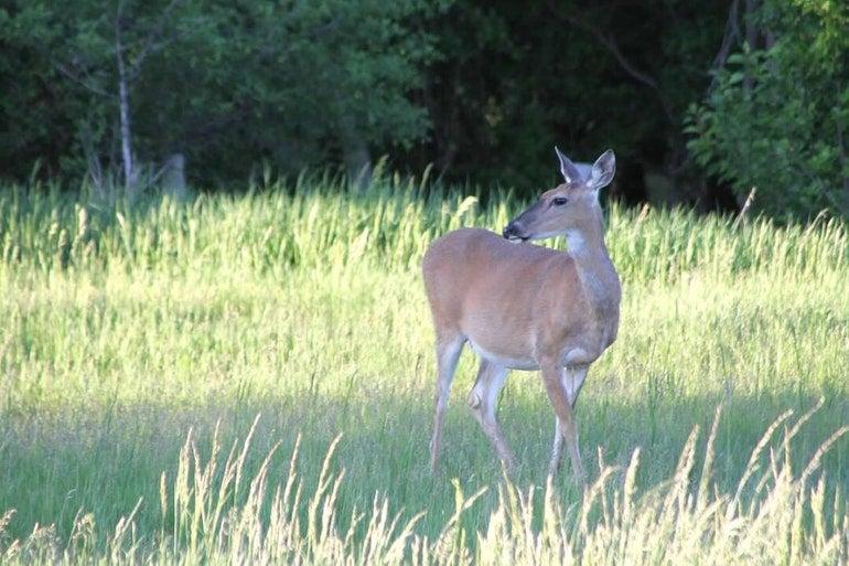 attentive deer grazes in a field