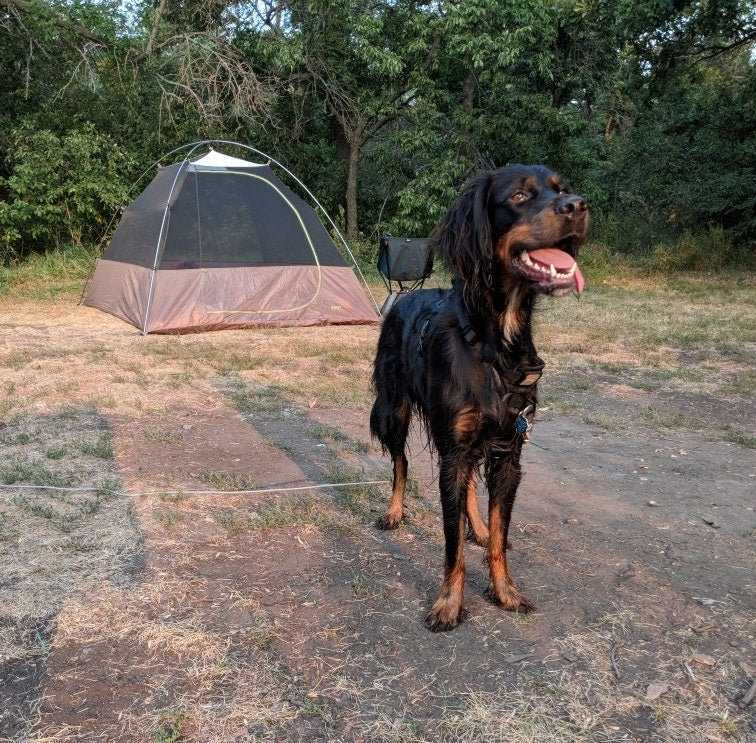 black and brown dog waits excitedly in front of a tent at campsite in grahams island state park