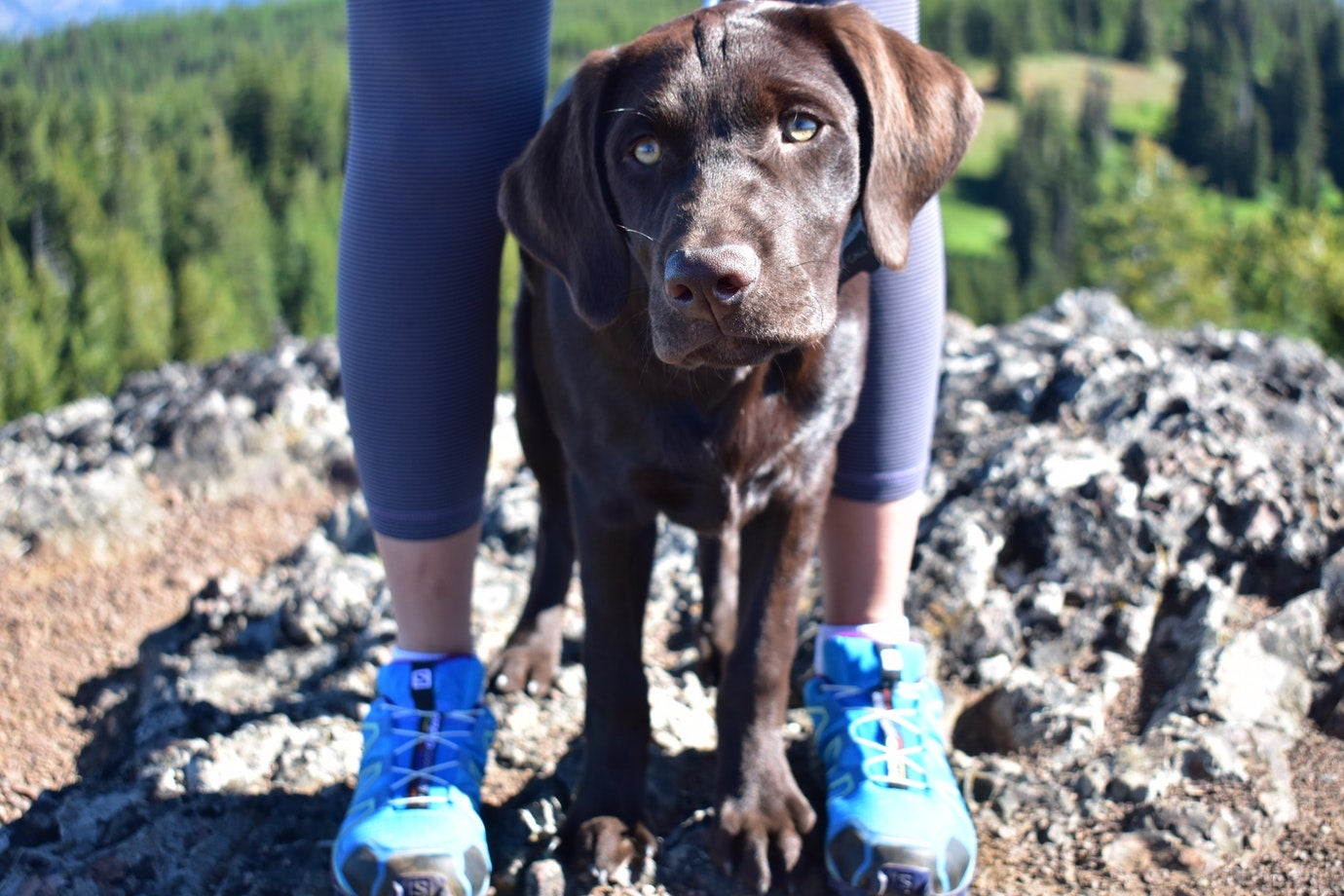 chocolate lab on a hike stands between owners feet